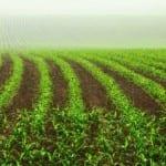 Rows in a cornfield